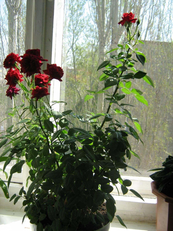 Выращивание домашней розы 32